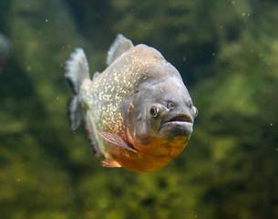 Piranha dangerous freshwater fish underwater