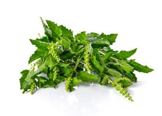 Basil leaves on white background.