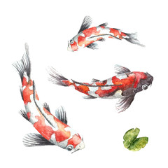 Three Koi fish on white background