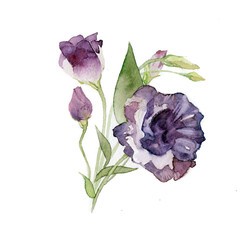 the fresh lisianthus watercolor summer flowers hand drawing on the paper isolated on the white background