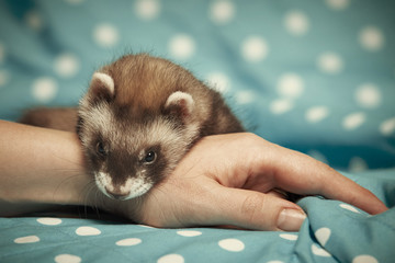 Ferret relaxing on hand Wall mural