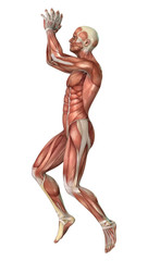 Muscles map
