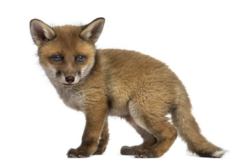 Fox cub (7 weeks old) in front of a white background Wall mural