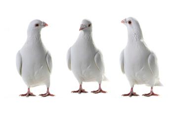 three white pigeon