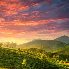 Wall Mural - Tea plantations in state Kerala, India