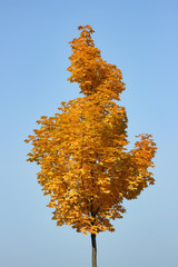 The autumn tree. Unusual shape of the crown of young maple in sunny autumn weather.