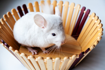 Little white chinchilla sits in a wooden bowl