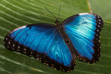 Close up of the Blue Morpho Butterfly.