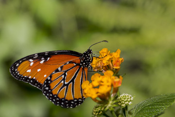 An orange Queen Butterfly resting on orange blossoms.