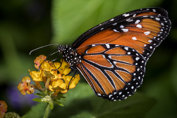 Close up of a Queen Butterfly on an orange blossom.