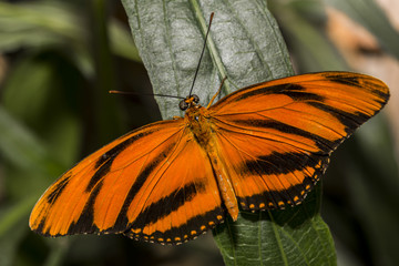 A bright orange Gulf Fritillary Butter with wings outstretched.