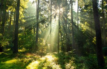 Iglasty las rozświetlony promieniami słońca
