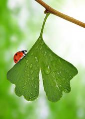 ginkgo biloba leaf with dew drops and ladybug