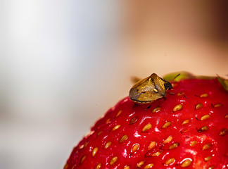 macro beetle on strawberries