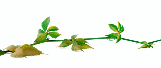 Yellowed twig of grapes leaves on white background