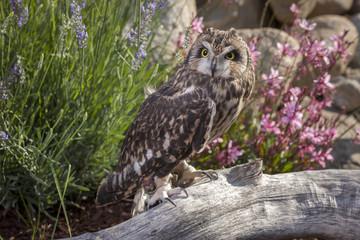 Short eared owl on log.