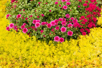 Mauve chrysanthemums grow on a bright flower bed
