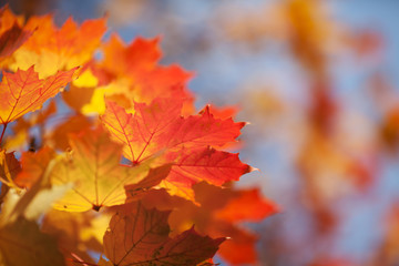 Bright autumn leaves of a maple against the blue sky