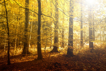 Fantasy golden sun light in the autumn forest landscape. Lovely red, orange and yellow color leaves on the forest floor.