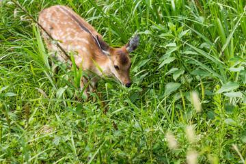 Roe deer eating leaves