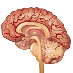 Brain and Blood vessels of the brain