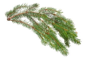 dark green fir branch on white