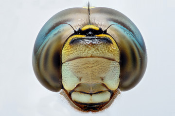 Extreme closeup of a Dragonfly head - front view
