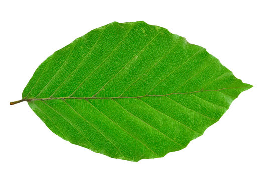 beech leaf isolated on white background