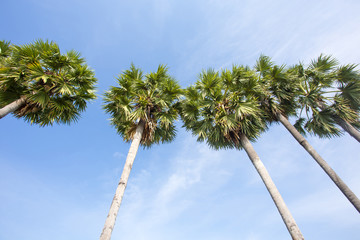 sugar palm and sky texture  background