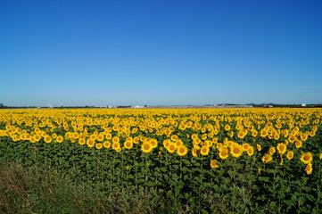 Sunflowers turn the sun