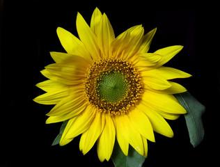 Bright yellow sunflower on black