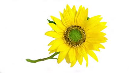 Bright yellow sunflower on white