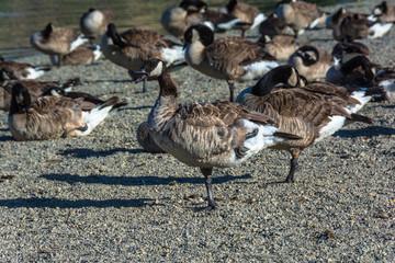 Canada Geese, Del Valle Lake, California