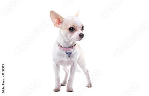 Собаки и щенки породы Чихуахуа  купить из питомников и