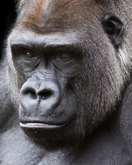 close up portrait of a silver-back gorilla