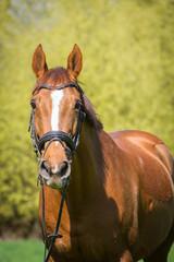 Pferdeporträt im Frühjahr