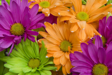 Bright Colored Daisies