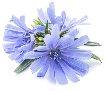 Chicory flowers isolated on the white background.