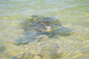Морская черепаха на коралловом рифе. Шри-Ланка