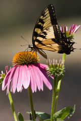 Swallowtail Butterfly Feeding on Purple Echinacea