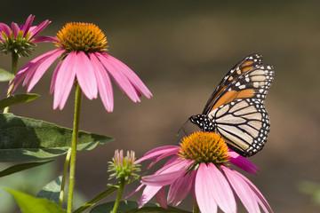 Monarch Butterfly Feeding on Cone Flowers