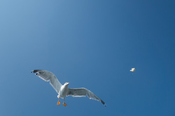 seagull in flight over the sea