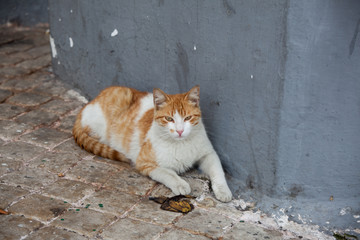 Ginger and white Moroccan cat looking at the camera