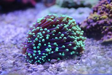 Coral in Reef Aquarium