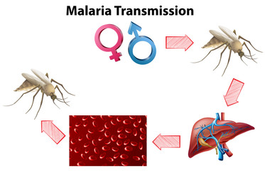 Malaria Transmission diagram with no text