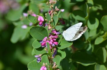 紋白蝶と萩の花