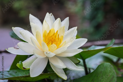 lotus flower growing in water taken in chiang mai thailand the lotus flower is used. Black Bedroom Furniture Sets. Home Design Ideas