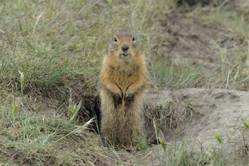 Squirrel - type of ground squirrel in Yakutia.