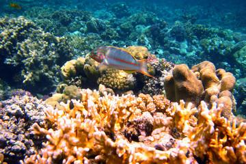 rotmeer junker zwischen korallen