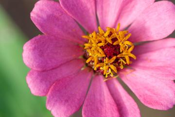 Close up of a purple Zinnia flower